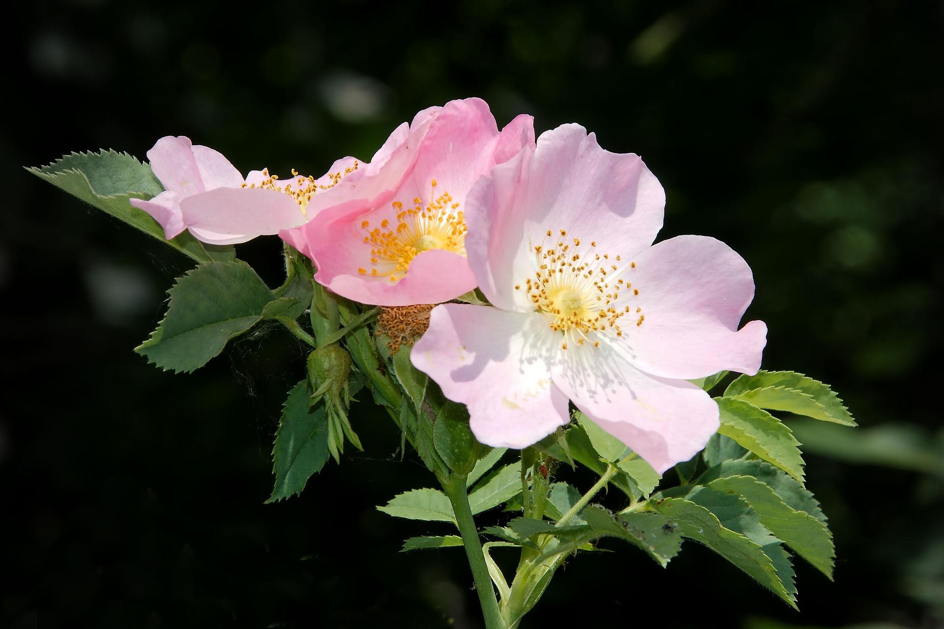 wild-rose-1428340_1920